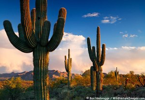 Saguaro Cactus in Fountain Hills, near Phoenix, Arizona.