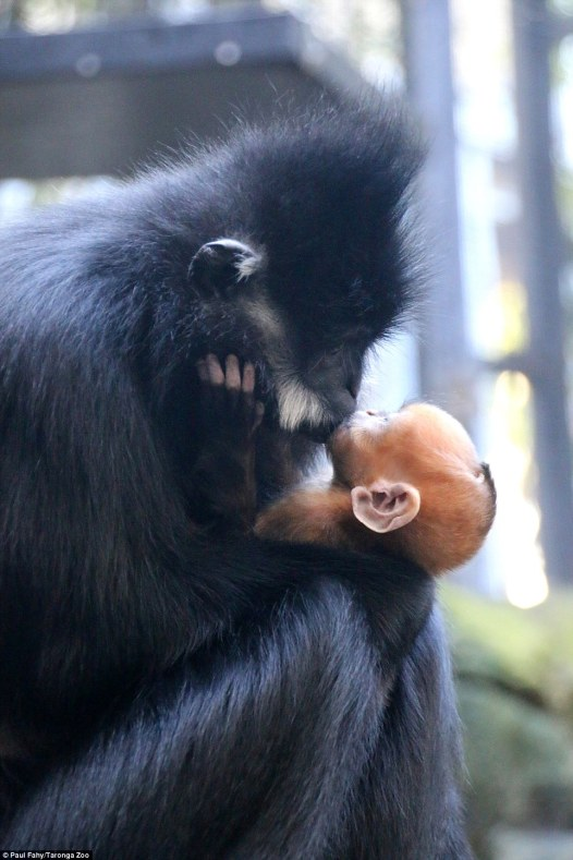 3722F19900000578-3735554-A_mother_and_baby_Fran_ois_Langur_have_been_captured_sharing_a_h-a-29_1470967291279